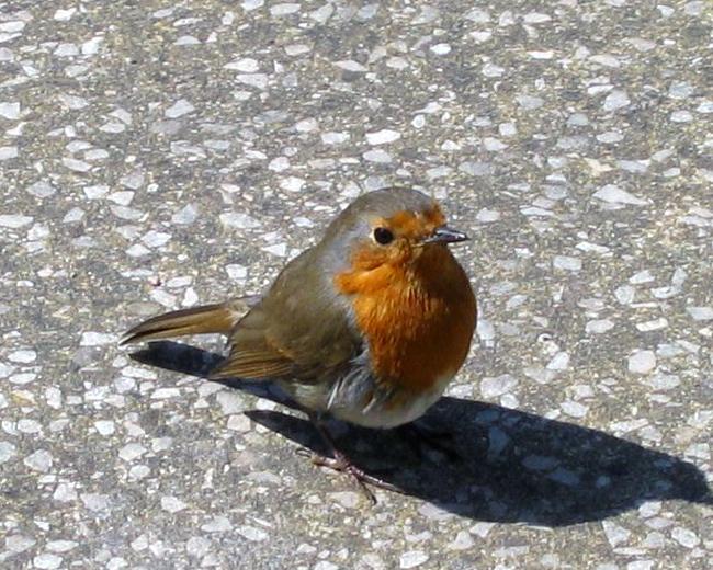 Simon\'s Robin